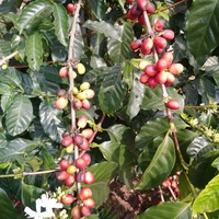 Coffee flower and fruits